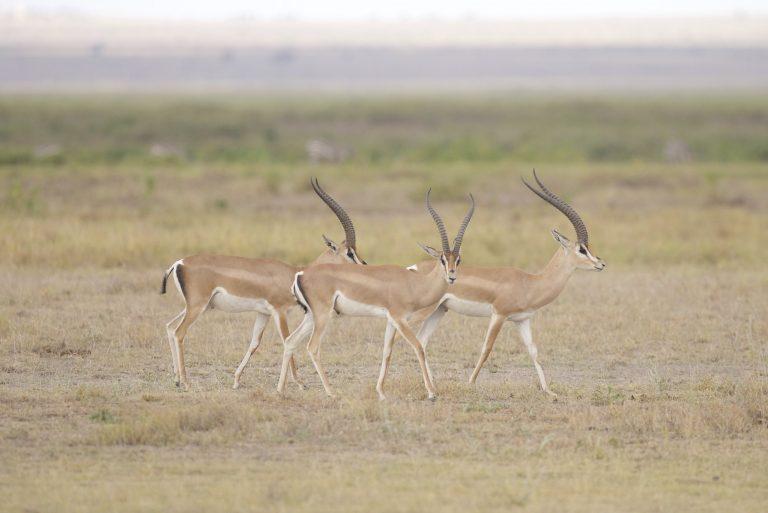Gazelles in de stad